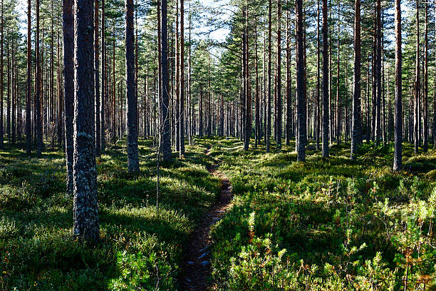 Evergreen forest in Northern Finland. stock photo