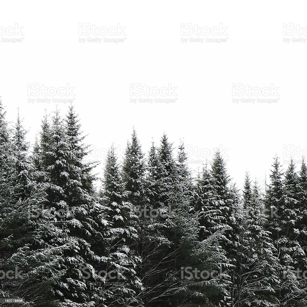 Evergreen forest isolated royalty-free stock photo