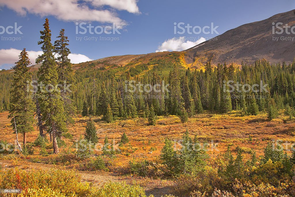 Evergreen fur-trees royalty-free stock photo
