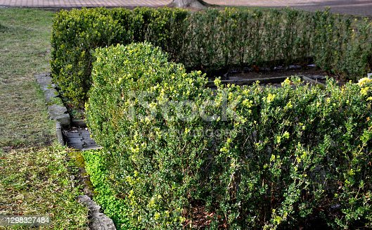 istock evergreen hedge of boxwood in the village square where it lives near monuments and cemeteries. enjoys a topiary garden in historic castle embroidery on formal parterres. low straight to square 1298327484