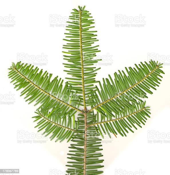 Photo of Evergreen isolated
