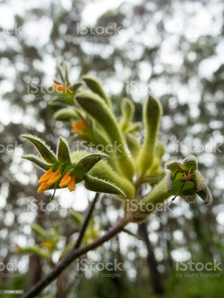 Evergreen Patte De Kangourou Fleur Anigozanthos Flavidus Sous Karri