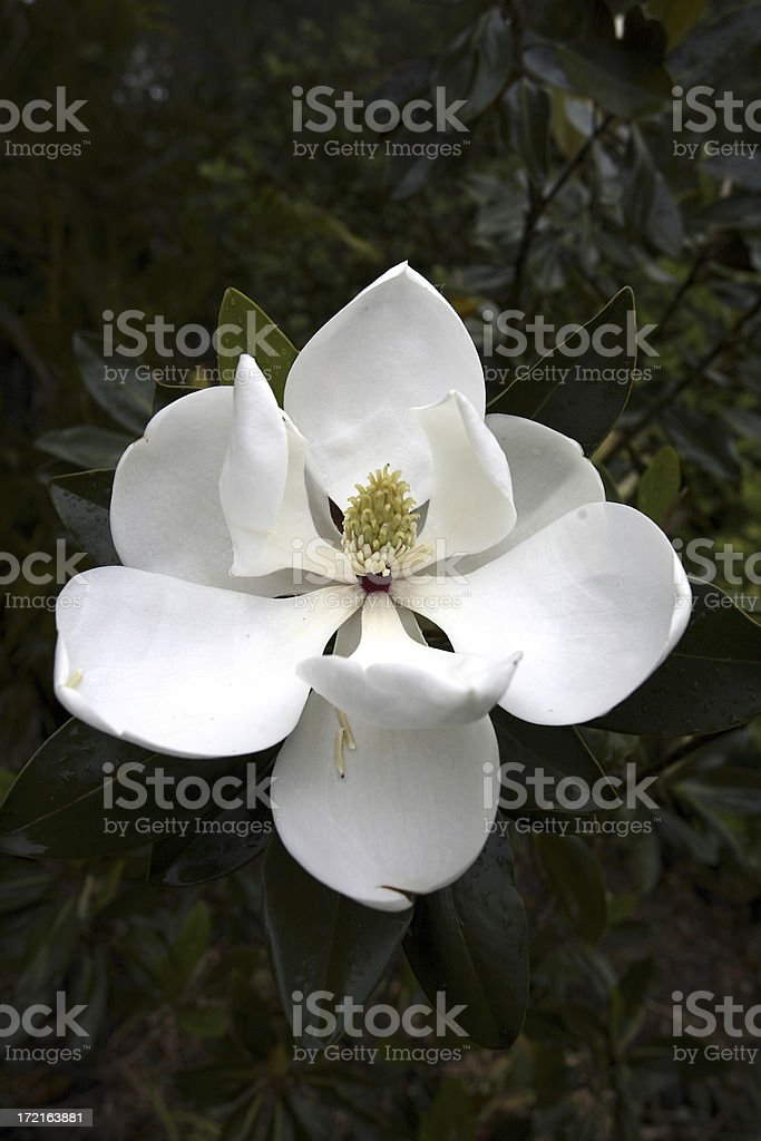 Evergreen Magnolia royalty-free stock photo