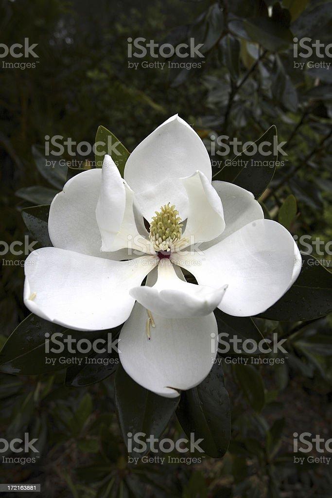 Evergreen Magnolia stock photo