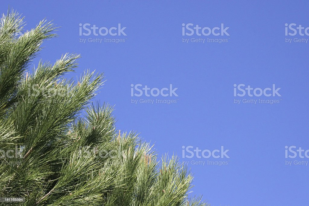 Evergreen on Sky stock photo