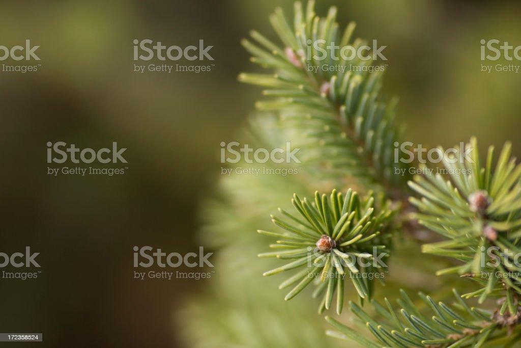 Evergreen royalty-free stock photo