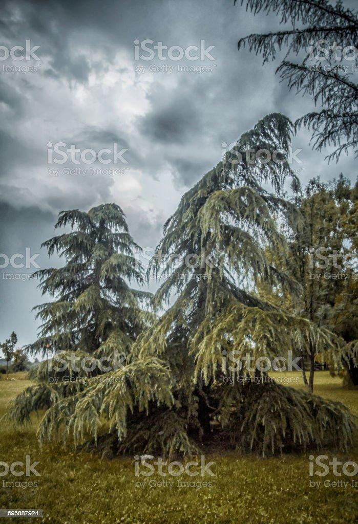 Evergreen stock photo