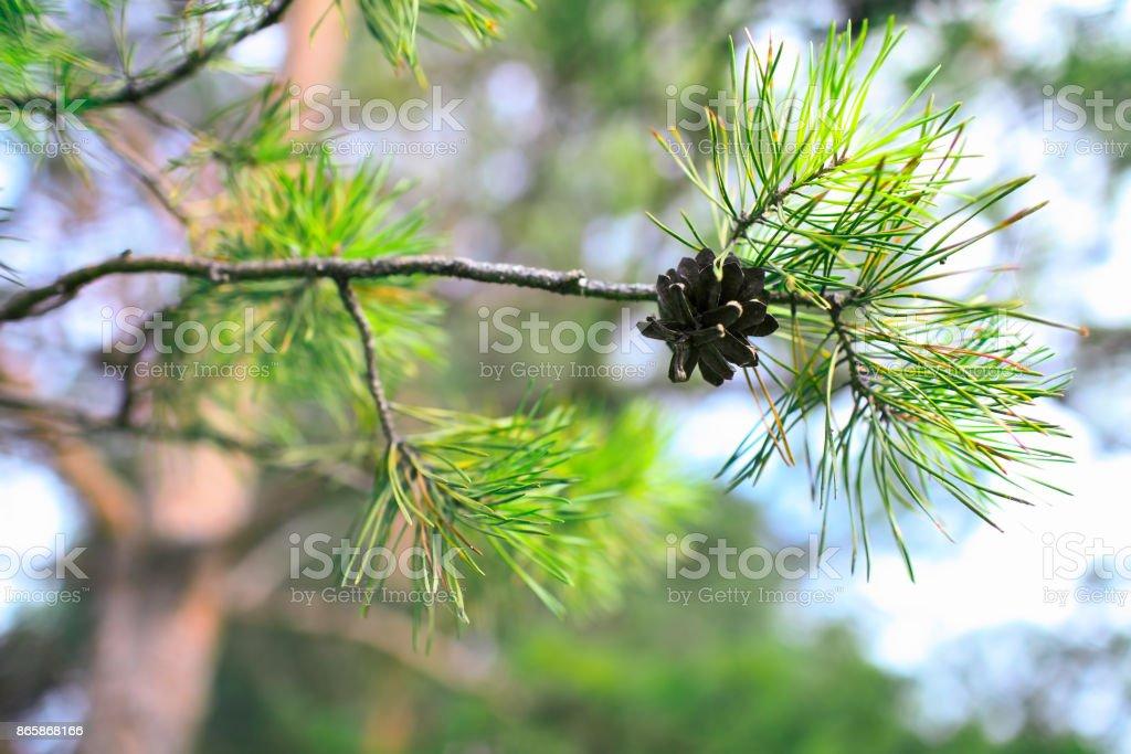 Evergreen pine tree with pinecone stock photo