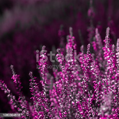 evergreen pink heather blossoms.  blurred floral background. shallow depth of field. plastic pink colors;