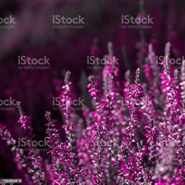 Evergreen pink heather blossoms picture id1080364818?b=1&k=6&m=1080364818&s=612x612&h=5qua4evu79 4p6hb wyj8eteg3scgfuots ntxxleg8=