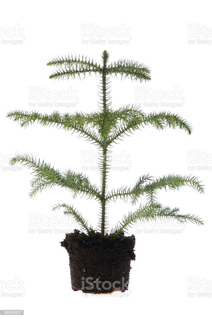 evergreen plant in soil royalty-free stock photo