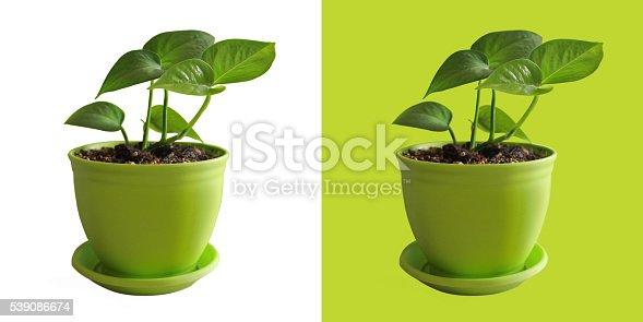 637166104 istock photo evergreen plant 539086674
