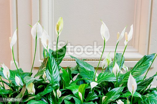 Evergreen plant spathiphyllum. White flowers and green leaves