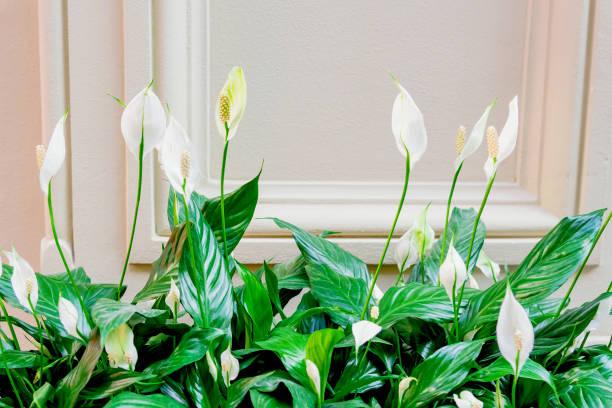 evergreen plant spathiphyllum. white flowers and green leaves - angiospermas imagens e fotografias de stock
