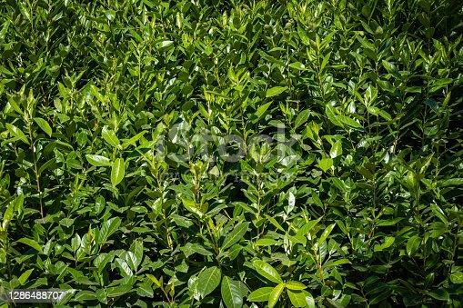 Evergreen Prunus lusitanica (Portuguese laurel) on artificial hill around the