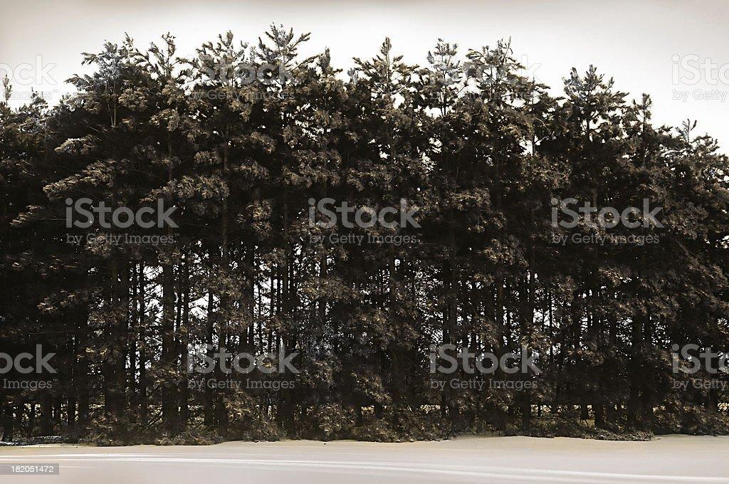 evergreen row, winter stock photo