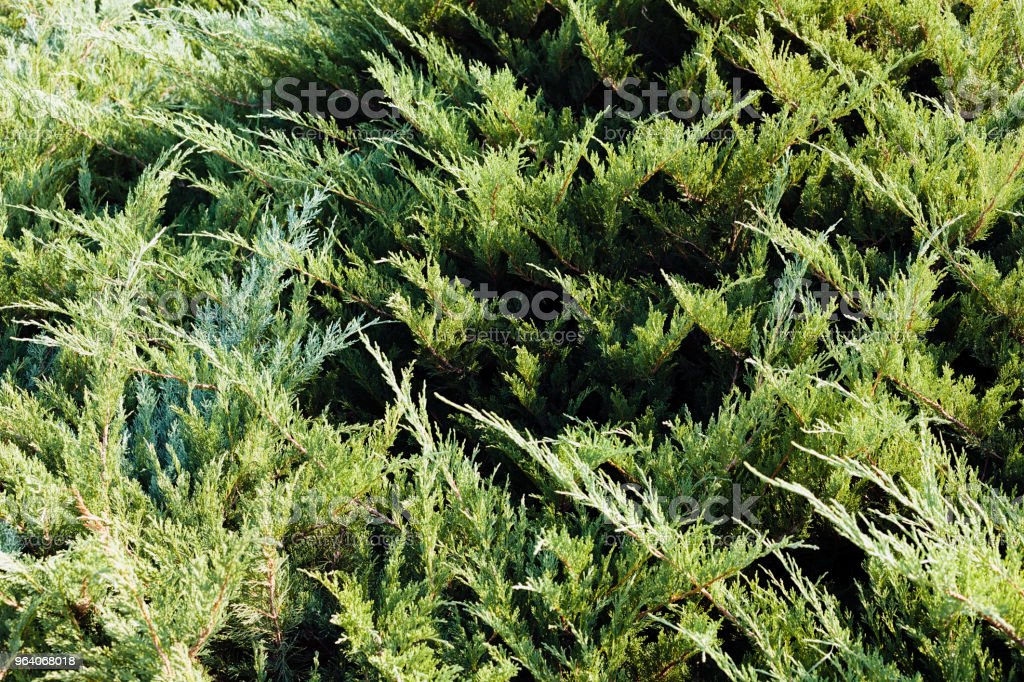 evergreen shrubs - Royalty-free Bush Stock Photo