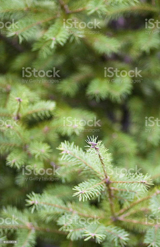 evergreen spruce royalty-free stock photo