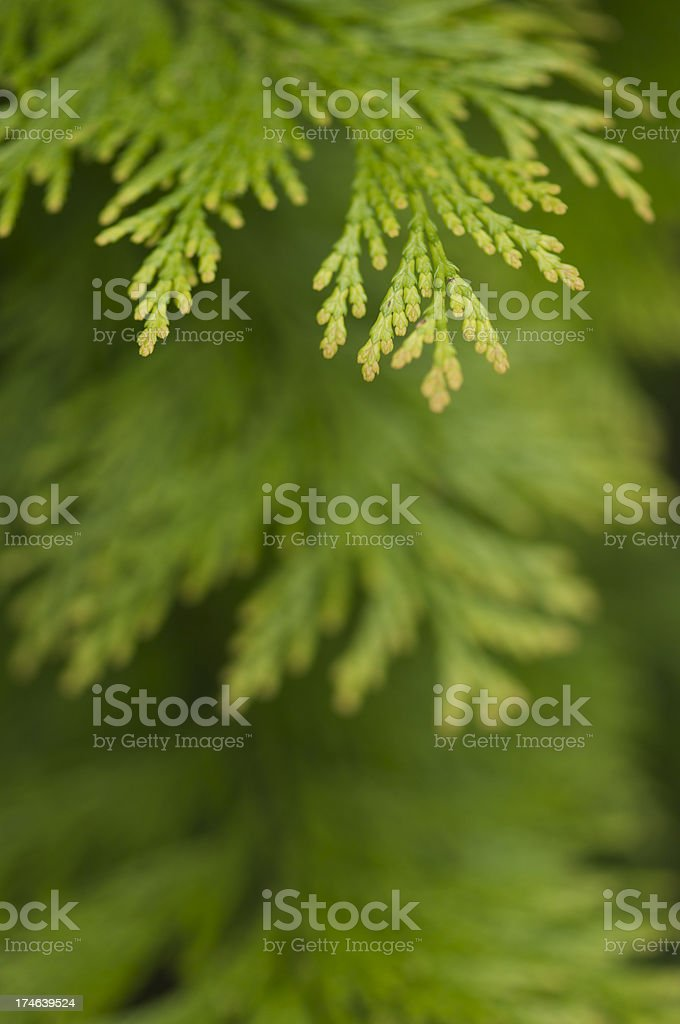 Evergreen Tips royalty-free stock photo