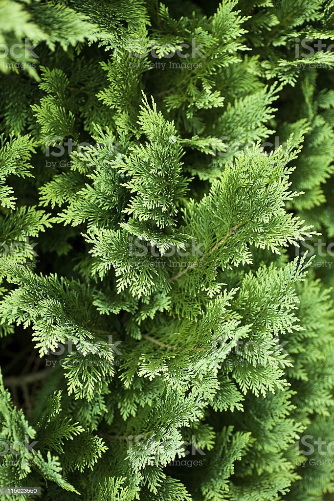 Evergreen tree background royalty-free stock photo