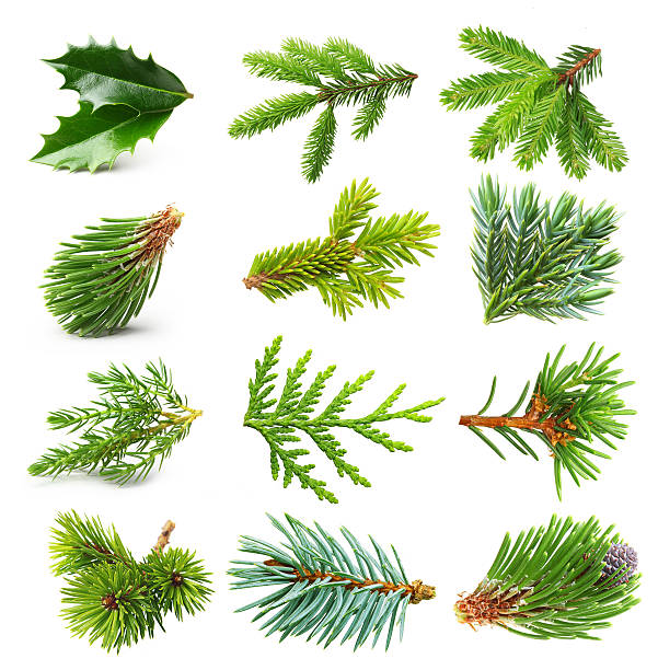 Royalty Free Spruce Tree Pictures, Images and Stock Photos ... Evergreen Branch