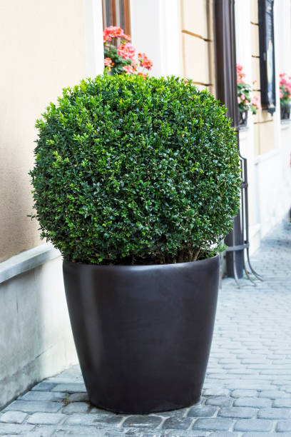 Evergreen tree Buxus sempervirens in pot stock photo