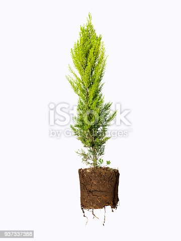Evergreen tree with roots, Isolated on white
