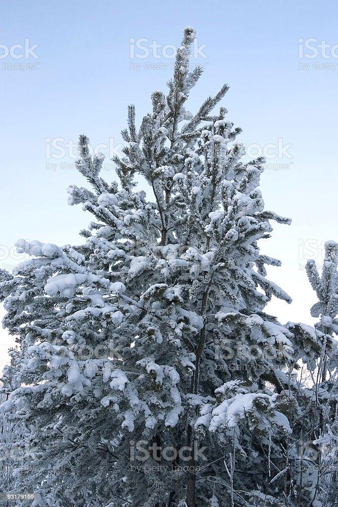 evergreen tree royalty-free stock photo