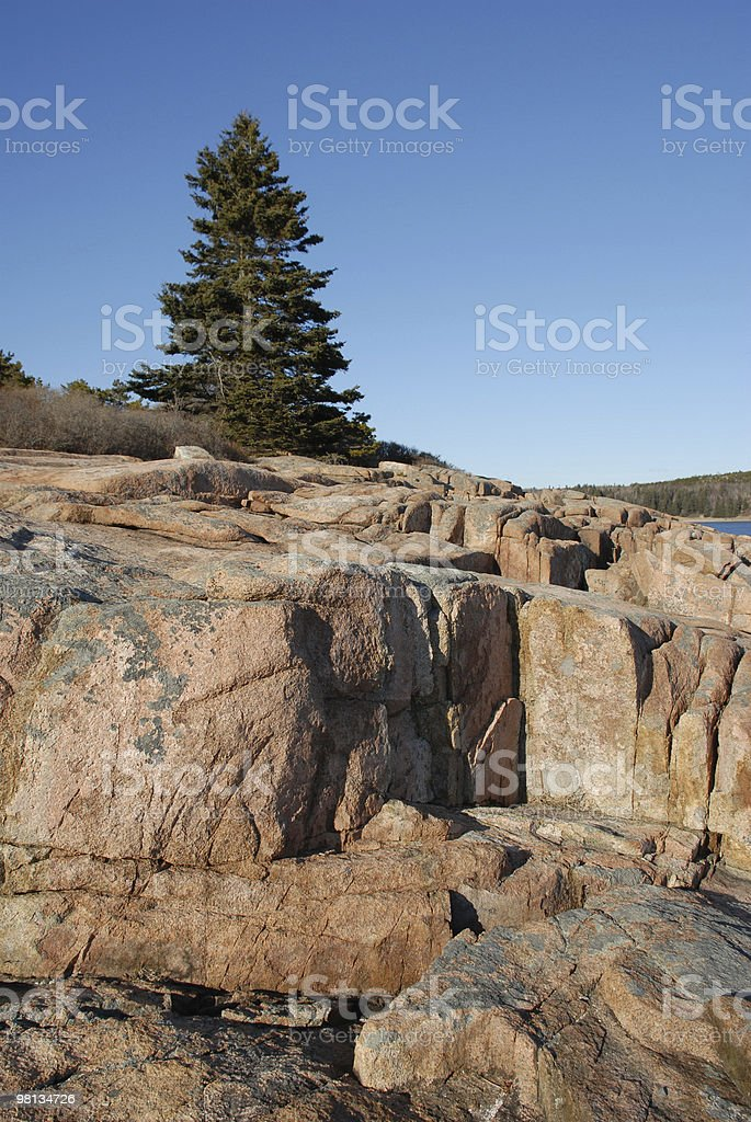 Evergreen tree rises high above Acadia cliffs royalty-free stock photo