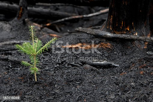 This little tree sprouted through the destruction of a forest fire200900502062See more in my Forest Fire Aftermath lightbox: