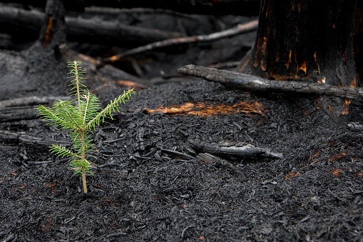 Evergreen tree sprouts in the ashes of a forest fire