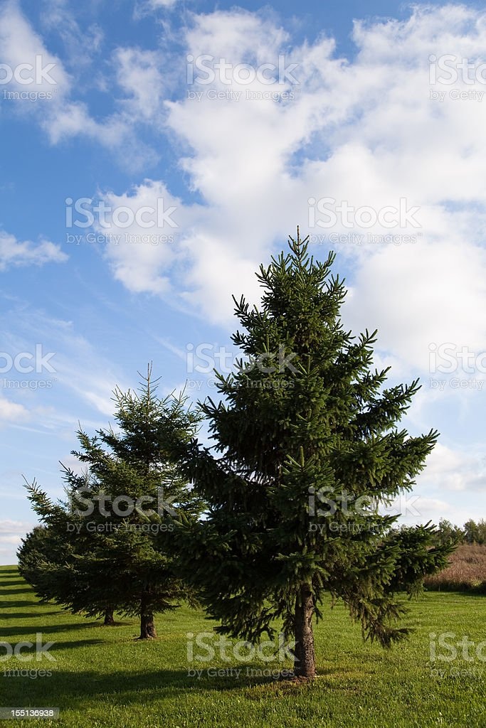 Evergreen trees in a row royalty-free stock photo