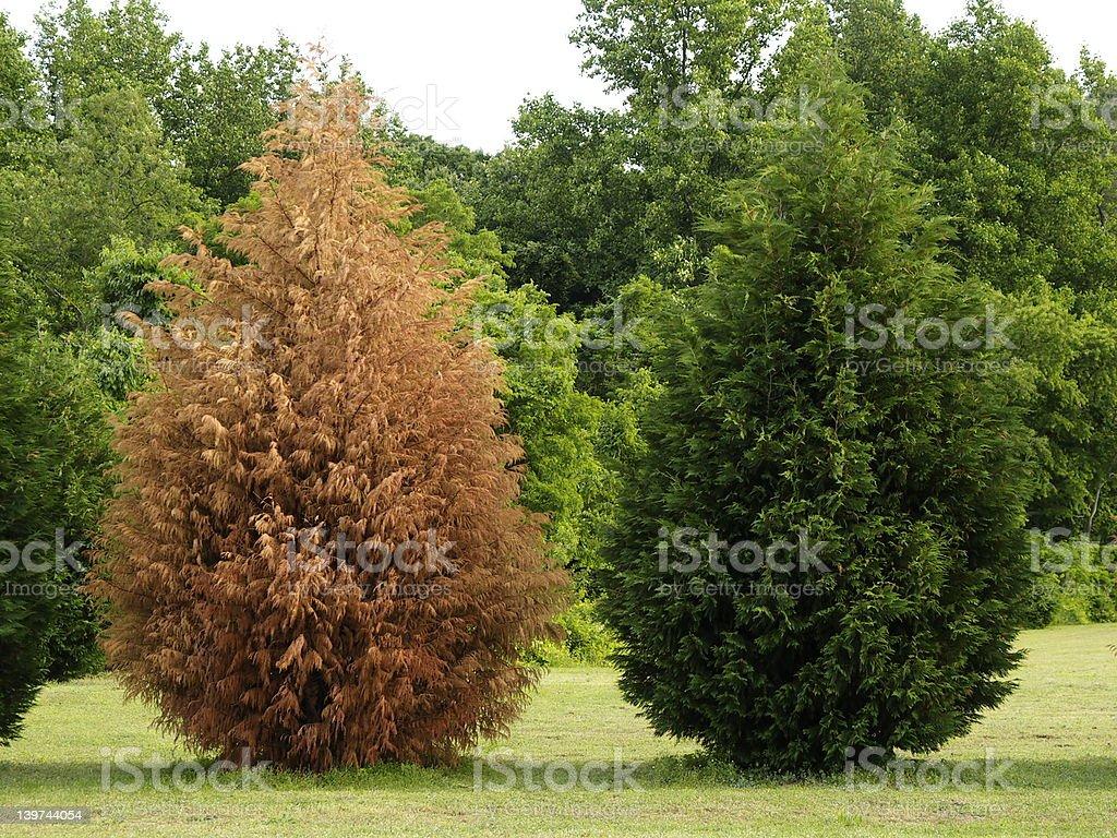 Evergreen trees stock photo
