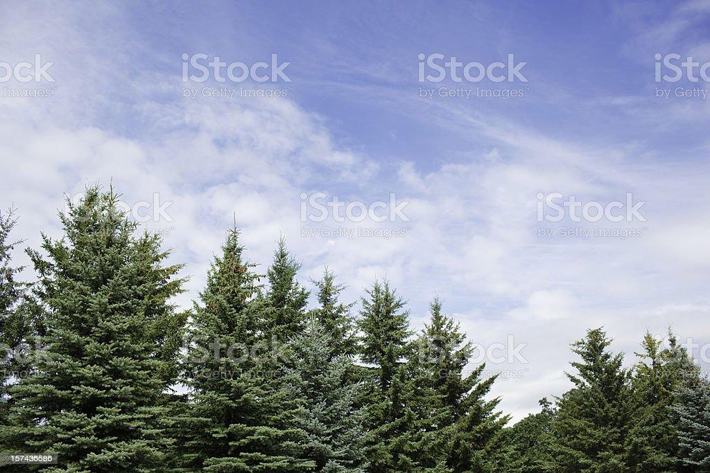 Evergreen Trees royalty-free stock photo