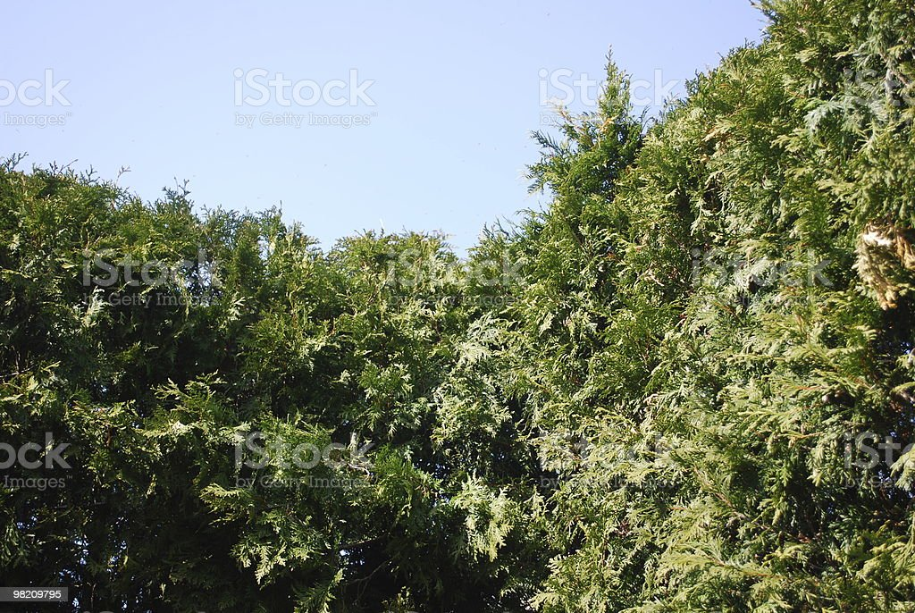 Evergreens and the sky royalty-free stock photo