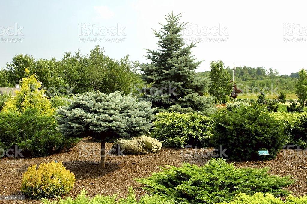 Evergreens royalty-free stock photo
