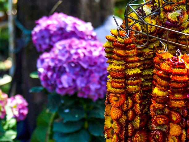 everlasting flowers in baguio - baguio city stock photos and pictures