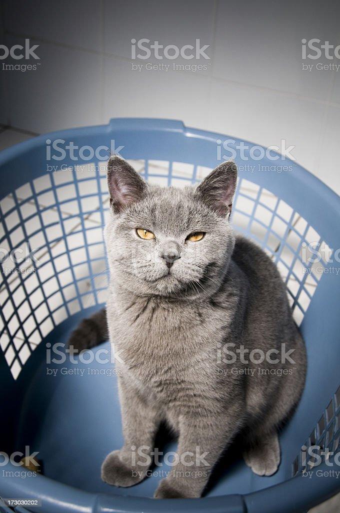 Evil Cat British Shorthair Kitten in washing basket royalty-free stock photo