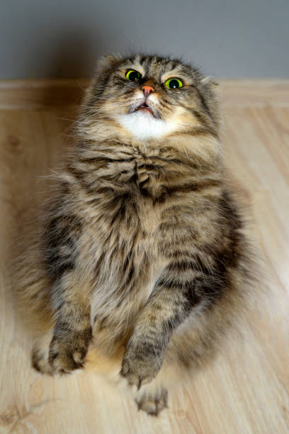 Chat mal aux yeux verts. - Photo