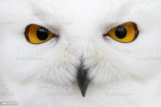 Evil eyes of the snow snowy owl closeup portrait picture id664761518?b=1&k=6&m=664761518&s=612x612&h=zeminmi3drkpikvoqqy1yiiej 6l3tzoncedtat9ayc=
