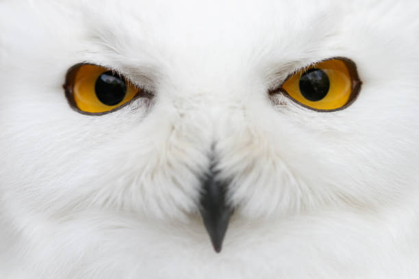 evil eyes of the snow - snowy owl (bubo scandiacus) close-up portrait - owl stock photos and pictures