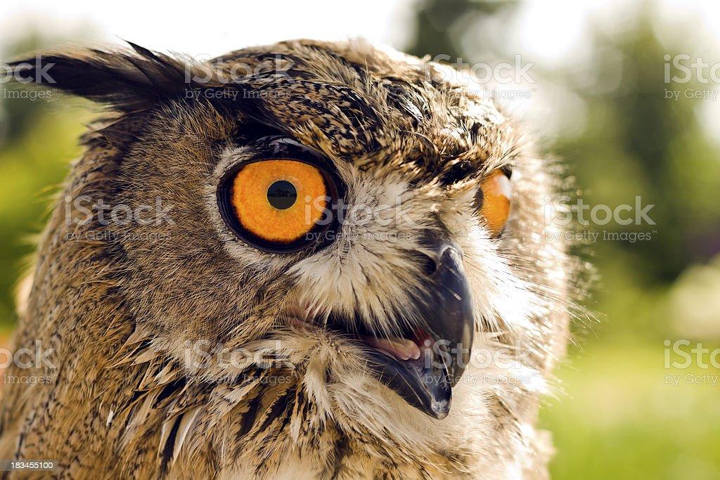 Evil eyes owl stock photo