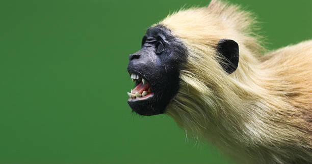 Evil Little Monkey Stock Photo