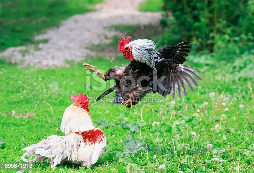 evil rivals of the village cocks started a fight at the summer yard