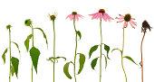 進化 CLYDESDALE purpurea 花の白背景