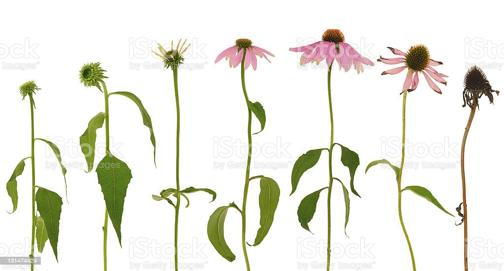 Evolution of Echinacea purpurea  flower  isolated on white background stock photo