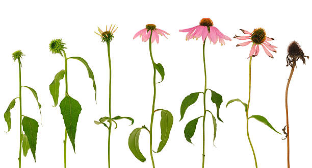 evolution of echinacea purpurea  flower  isolated on white background - dead plant stock photos and pictures