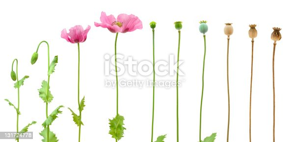 Evolution of Opium poppy isolated on white background