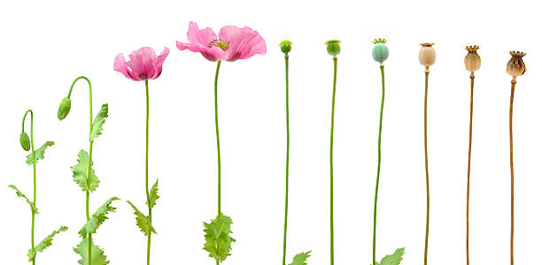 an introduction to the analysis of opium the natural extract obtained from the juice of the poppy fl What are the pharmaceutical sources of drugs opium extract was used opium is obtained from the milky juice of the unripe seed capsule of the poppy.