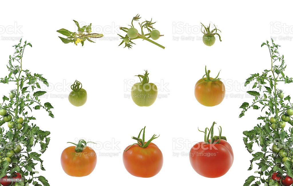 Evolution of red tomato isolated on white background royalty-free stock photo